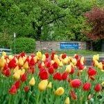 Spring Rain and Tulips
