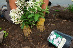 Planting a Hydrangea