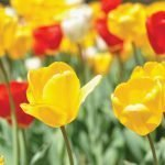 Tulip Red, Yellow and Ivory Blend