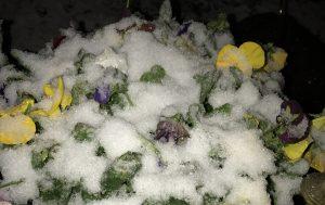 Snow covered Pansies