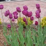 Tulips Purple