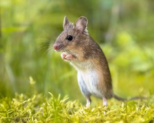 wood mouse standing straight erect